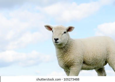 Lamb isolated against blue sky in the Peak District National Park Derbyshire