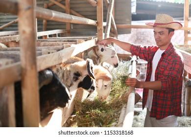 lamb kurban day. farmer sheep asian man on farm. yogyakarta indonesia. august 10, 2018.