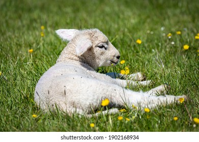 A lamb laying amongst wildflowers in a meadow, in the spring sunshine