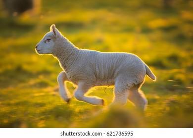 Lamb lit with golden light at sunset
