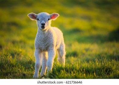 Lamb lit with golden light at sunset