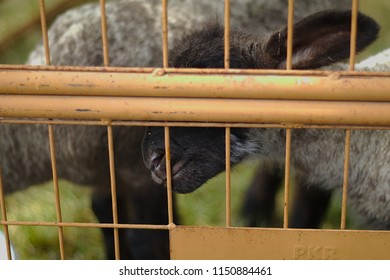 Lamb locked in behind a mesh of iron