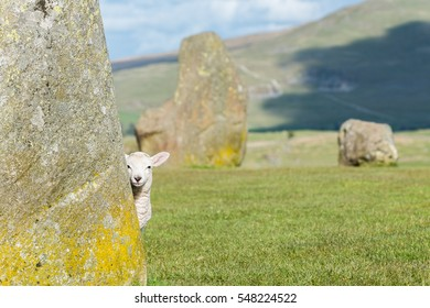 A lamb is looking around the corner from behind a large boulder at the Castlerigg Stone Circle in the English Lake District.