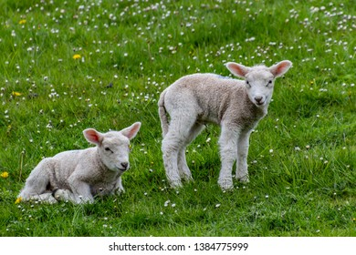lamb on the green grass, in spring