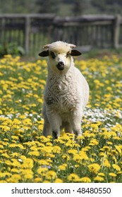 Lamb on a meadow in springtime