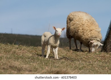 lamb on pasture with blue sky
