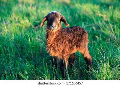 Lamb outdoors.