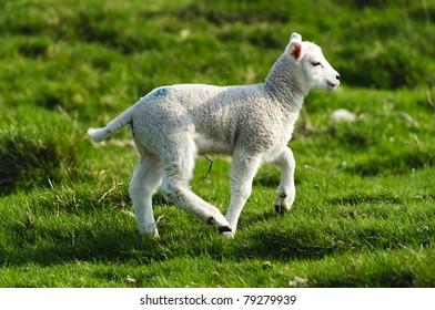 Lamb in the Peak District National Park Derbyshire