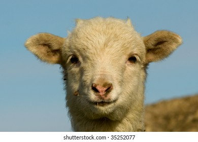 Lamb portrait looking