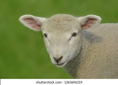 Lamb portrait on meadow