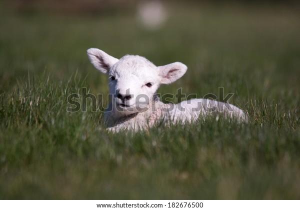 Lamb resting in the sun light