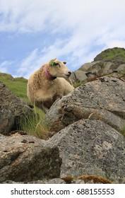 Lamb and Rocks,Lofoten Norway