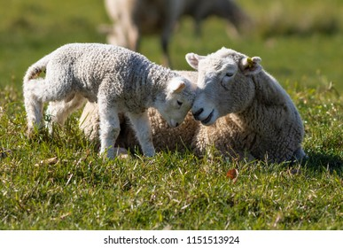A lamb rubs it's face against it's mothers head in a farmers field during a sunny spring day in New Zealand