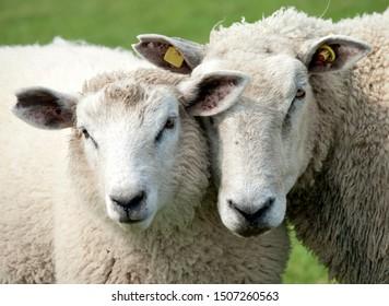 lamb and sheep, closeup view