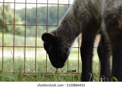 Lamb at a sheep farm with a mesh in the background