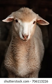 Lamb sheep. Portrait of a sheep looking at the camera. Sheep on a dark background