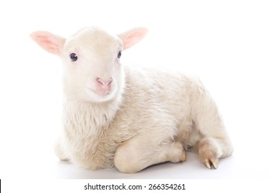 Lamb sitting in front of a white background
