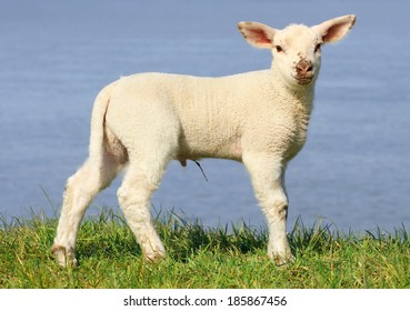 Lamb standing on seawall