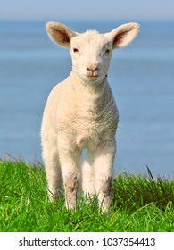 Lamb standing on seawall in north germany
