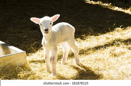 Lamb, standing on straw in barn