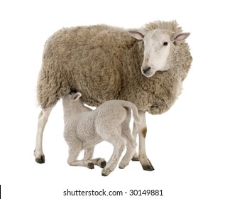 lamb suckling his mother (a ewe) in front of a white background