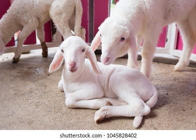 Lambs in barn look at the camera