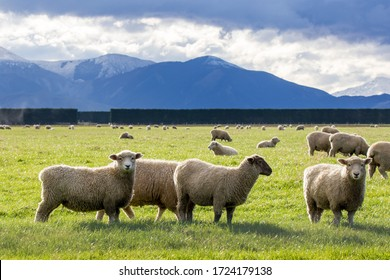 Lambs being fattened up on a Canterbury farm field over winter with snowy mountains in the background