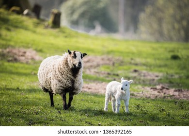 Lambs in a field with the mother