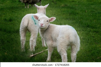 Lambs in field, Ribble Valley, Lancashire