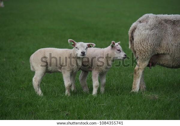 lambs-folowwing-their-mother-sheep-600w-