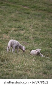 Lambs grazing, resting and posing for the camera on the hills of northern Austria.
