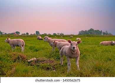 Lambs in the meadow in spring in the Netherlands at sunset