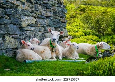 Lambs in norway