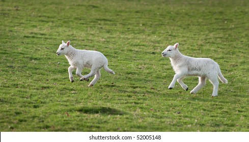 Lambs run and jump in Welsh mountain fields - Ovis aries (focus on front jumping lamb)