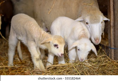 lambs and sheep  in a stable