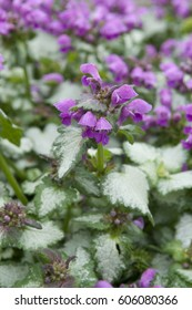 Lamium Lami Dark Purple