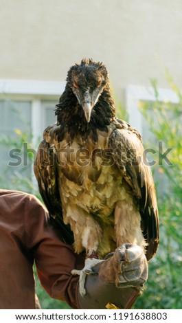 Lammergeier Bearded Vulture Gypaetus Barbatus Stock Photo Edit Now