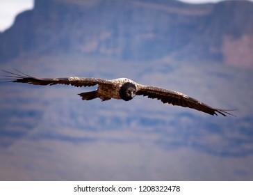 Lammergeyer, Bearded Vulture, in the Giant's Castle region of the Drakensberg Mountain, in Kwazulu Natal, South AFrica