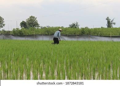 Menanam Padi Images, Stock Photos & Vectors | Shutterstock