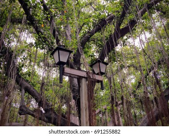 Lamp Post in front of large single Banyan Tree that covers all of Banyan Tree Park in Lahaina on the island of Maui in the state of Hawaii USA
