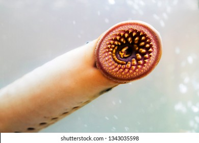 lamprey  delicious fish  parasite in aquarium