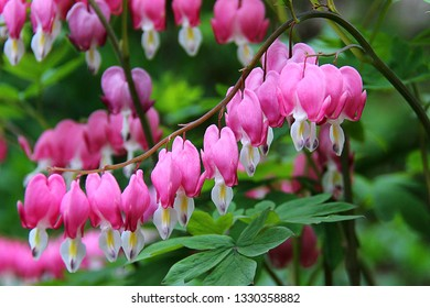 Lamprocapnos spectabilis (formerly Dicentra spectabilis; bleeding heart, Venus's car, Lady in a bath, Dutchman's trousers, or Lyre-flower). Lamprocapnos spectabilis dicentra pink flowers in the garden