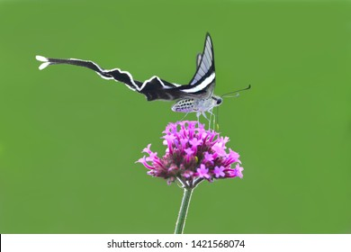 Lamproptera meges virescens / Green Dragontail  hovering over verbena flower (Macroglossum stellatarum) in nature