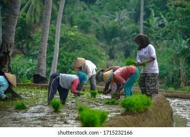Lampung Indonesia April 27, 2020 : Happy Farmers working in the rice field, plantation young rice with traditional plant