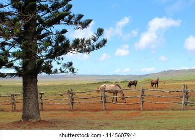 Lanai Horses Hawaii