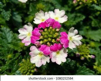 Lanai Twister Amethyst flower