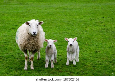 mother sheep with lambs images stock photos vectors shutterstock