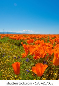 Lancaster, CA/USA - April 16, 2020: A field of poppies, flowers, and grass in Lancaster, California on a sunny day with blue sky.
