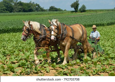 Lancaster County, PA., USA, July 5, 2013, Belgian draft horses on Amish farm tilling weeds between tobacco rows.