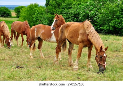 Lancaster County, Pennsylvania - June 6, 2015:  Chestnut-colored horses grazing on grass pasture land at an Amish farm  *